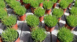 Pre grown Pet grass