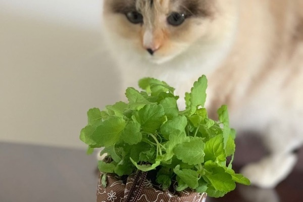 What are the benefits of Catnip?